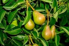 Petites poires sur la branche Photographie stock libre de droits