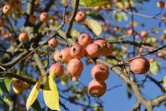 Petites pommes sauvages images libres de droits