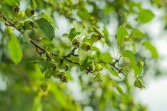 Petites pommes vertes Images stock