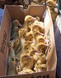 Petites poules nouveau-nées dans une boîte de carton sur un marché Photographie stock libre de droits