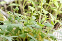 petites pousses vertes des jeunes plantes de tomate image stock
