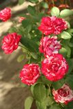 Petites roses roses d'une intuition Images stock