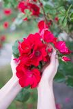 Petites roses roses de floraison dans des mains de girl's Fleurs Floraison dans le sauvage Sur le fond du feuillage vert-foncé Image libre de droits