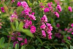 Petites roses roses de floraison Fleurs Floraison dans le sauvage Sur le fond du feuillage vert-foncé Image stock