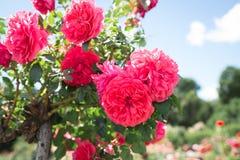 Petites roses roses de floraison Fleurs Floraison dans le sauvage Sur le fond du feuillage vert-foncé Photos libres de droits