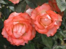 Petites roses rose-clair Image stock