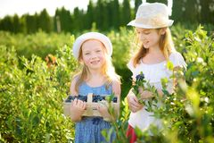 Petites soeurs mignonnes sélectionnant les baies fraîches à la ferme organique de myrtille le jour chaud et ensoleillé d'été Alim images stock