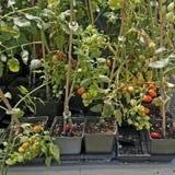 Petites tomates croissantes pour la vente images stock