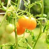 Petites tomates jaunes sur le branchement Images stock