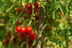 Petites tomates rouges fraîches sur un buisson Photos libres de droits