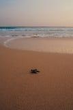 Petites tortues soutenant à l'océan Image stock