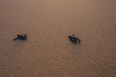 Petites tortues soutenant à l'océan Images stock