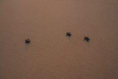 Petites tortues soutenant à l'océan Photographie stock
