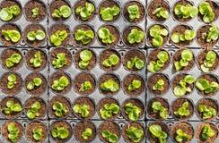 Petites usines de bégonia dans des récipients en plastique Photo libre de droits