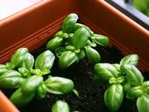 Petites usines de Basil dans un pot Photos libres de droits