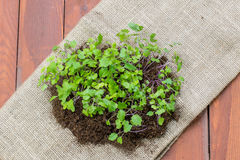Petites usines de jeunes plantes de chou-rave sur le sac à jute Photographie stock