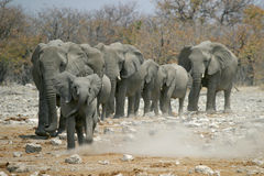 Petits éléphants aboutissant le troupeau Image stock