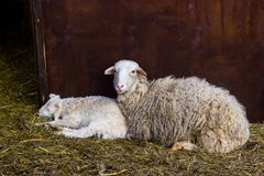 petits agneau et moutons Image stock