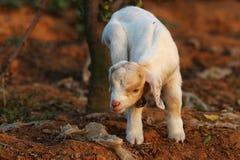 Petits agneaux Photos libres de droits