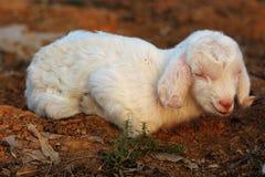 Petits agneaux Image libre de droits