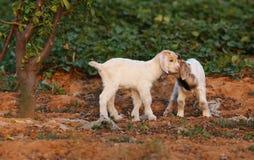 Petits agneaux Image stock