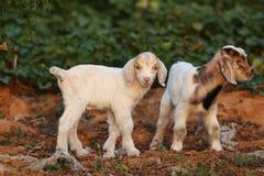 Petits agneaux Photographie stock libre de droits