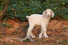 Petits agneaux Images stock