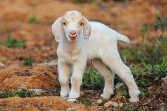 Petits agneaux Photo stock