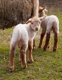 Petits agneaux au printemps Photographie stock