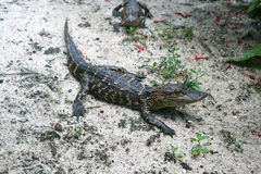 Petits alligators Photo stock