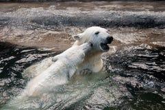 Petits animaux d'ours blanc jouant dans l'eau Image stock