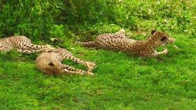 Petits animaux de guépard se reposant sur l'herbe banque de vidéos