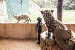 Petits animaux de léopard et de serval Photographie stock