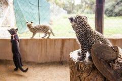 Petits animaux de léopard et de serval Photo stock