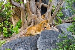 Petits animaux de lion africains est dans Serengeti Image stock