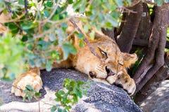 Petits animaux de lion africains est dans Serengeti Photographie stock libre de droits