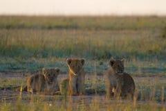 Petits animaux de lion dans l'herbe d'or Photos stock