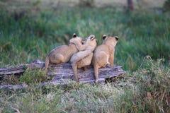 Petits animaux de lion sur un rondin Image libre de droits