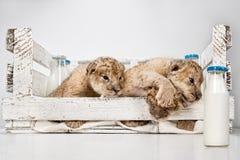 Petits animaux de lions de ?ute Image stock