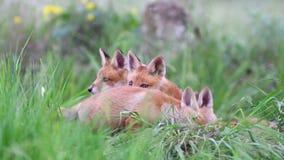 Petits animaux de renard rouge jouant avec l'habillement du mouton dans l'herbe grande Vulpes banque de vidéos
