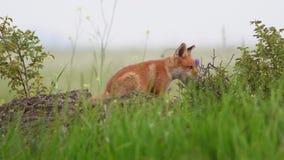 Petits animaux de renard rouge se reposant sur une roche et mâchant sur les buissons Vulpes banque de vidéos