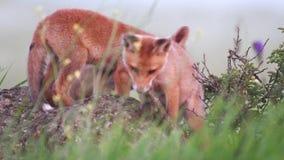 Petits animaux de renard rouge se reposant sur une roche et m?chant sur les buissons Vulpes banque de vidéos