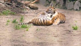 Petits animaux de tigre jouant les uns avec les autres en parc de zoo banque de vidéos