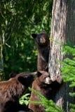 Petits animaux et mère d'ours noir Images stock