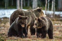 Petits animaux et -ours d'ours Arctos d'arctos d'Ursus d'ours de Brown Images stock