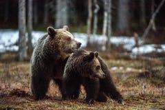 Petits animaux et -ours d'ours Arctos d'arctos d'Ursus d'ours de Brown Image libre de droits