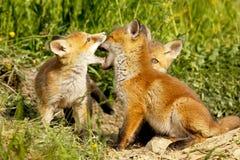 Petits animaux mignons de renard jouant hors du terrier Image libre de droits