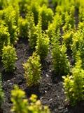 Petits arbres Image libre de droits