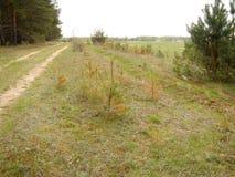 Petits arbres de pin Images stock