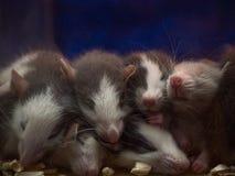 Petits bébés de sommeil mignons de souris Photos libres de droits